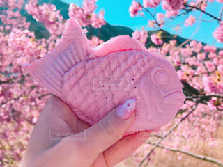 桜とたいやきの写真・画像素材[1133419]