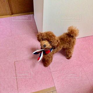 マフラーをまく犬の写真・画像素材[858125]