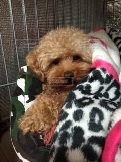 犬と毛布の写真・画像素材[858131]