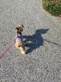 ひもに小型犬の写真・画像素材[1196372]