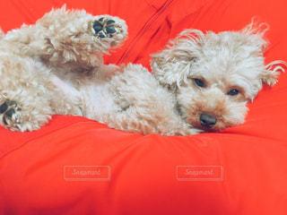 赤いシャツを着て犬の写真・画像素材[1196382]