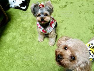 茶色と白の小型犬の写真・画像素材[1196389]