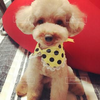我が家の愛犬の写真・画像素材[1197014]