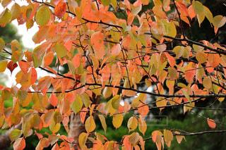 紅葉した桜の葉の写真・画像素材[841620]
