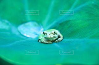 カエルの写真・画像素材[947387]