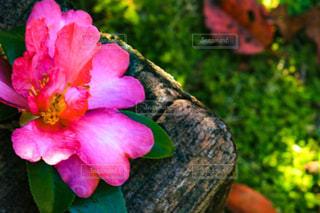 自然,ハート,山茶花,サザンカ,木のベンチ