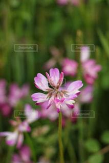春の花,レンゲ,ハートの花びら,ハートの影