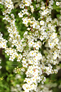花,ユキヤナギ,静岡県,沼津市