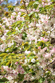 花,桜,静岡県,土肥,伊豆市