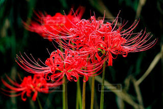 花,彼岸花,ヒガンバナ,曼珠沙華,静岡県,富士市