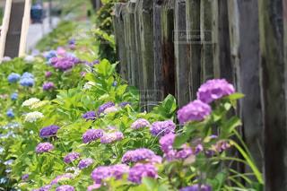 紫陽花の写真・画像素材[1122463]