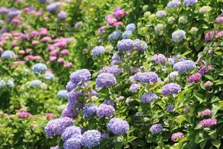 紫陽花の写真・画像素材[1122472]