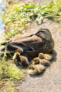 親子,子供,母親,可愛い,母,カルガモ,ママ,お母さん,子育て,カルガモ親子,よちよち歩き,子沢山,可愛い鳥,子育て大変,落ちつかない