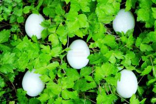 卵の写真・画像素材[1189023]