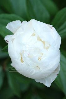 芍薬の花の写真・画像素材[1197613]