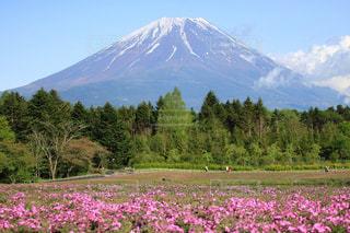 富士芝桜祭りの写真・画像素材[1204009]