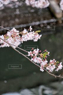 枝垂れた桜の写真・画像素材[1247702]