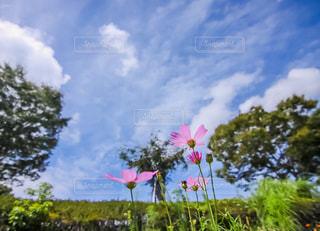 青空の下で咲く秋桜の写真・画像素材[1387966]