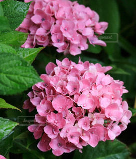 花,ピンク,ピンクの紫陽花,ハワイアンピンク