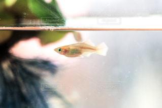 メダカの雌の写真・画像素材[1439978]