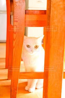 猫,動物,白い,可愛い,びっくり顔,ネコ