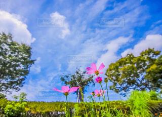 秋の空と秋桜の写真・画像素材[1454695]