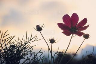 夕暮れどきの秋桜畑の写真・画像素材[1455190]