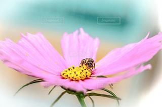 秋桜と蜂の写真・画像素材[1457153]