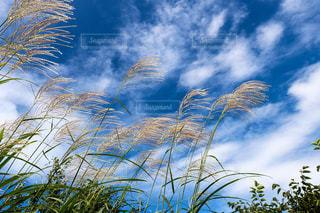 空,秋,屋外,植物,青空,ススキ,草木,秋の空,富士山スカイライン