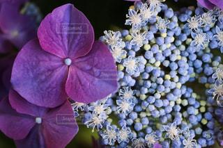 庭のガクアジサイの写真・画像素材[1691430]
