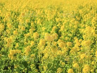 花,春,お花畑,花畑,植物,菜の花,景色,満開,イエロー,yellow,静岡県,春色