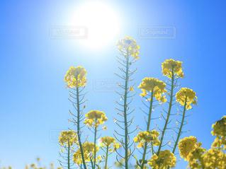 自然,花,春,お花畑,花畑,太陽,植物,青空,黄色,菜の花,日差し,満開,逆光,イエロー,色,yellow,静岡県,春色