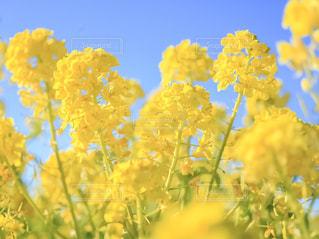 自然,花,春,お花畑,花畑,植物,青空,黄色,菜の花,満開,イエロー,色,yellow,静岡県,春色