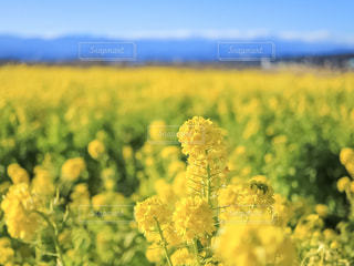 花,春,お花畑,花畑,植物,青空,黄色,菜の花,景色,満開,イエロー,色,yellow,静岡県,春色