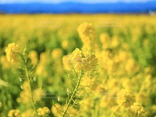 自然,花,春,お花畑,花畑,植物,青空,黄色,菜の花,景色,満開,イエロー,色,yellow,静岡県,春色