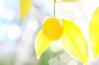 自然,植物,黄色,日差し,イエロー,玉ボケ,色,金柑,キンカン,yellow,春色