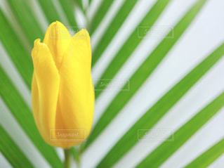 花,春,黄色,チューリップ,鮮やか,ちゅーりっぷ,ビタミン色