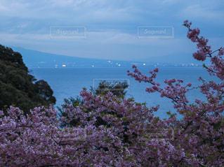 夜桜と海の写真・画像素材[1832146]