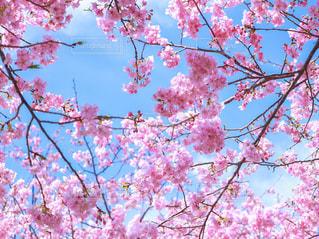 自然,花,春,桜,屋外,ピンク,青空,お花見,河津桜,満開の桜,青空と桜,河津桜まつり
