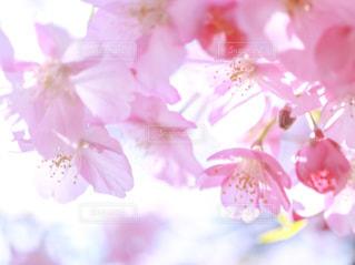 自然,花,春,桜,屋外,ピンク,お花見,河津桜,満開の桜,河津桜まつり
