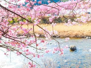自然,花,春,桜,屋外,ピンク,川,お花見,川沿い,河津桜,満開の桜,川沿いの桜,河津桜まつり