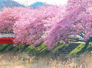 自然,花,春,桜,橋,屋外,ピンク,階段,お花見,川沿い,河津桜,赤い橋,満開の桜,川沿いの桜,河津桜まつり