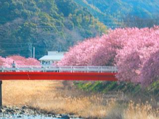 自然,花,春,橋,屋外,ピンク,川,桜並木,お花見,川沿い,河津桜,赤い橋,満開の桜,河津桜まつり