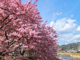 自然,花,春,桜,屋外,ピンク,青空,川,桜並木,お花見,川沿い,河津桜,満開の桜,青空と桜,河津桜まつり