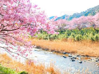 咲きほころぶ桜並木の写真・画像素材[1832295]
