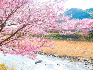 ピンクの河津桜の写真・画像素材[1832302]