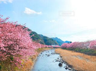 自然,花,春,桜,屋外,ピンク,川,桜並木,お花見,川沿い,河津桜,満開の桜,川沿いの桜,河津桜まつり