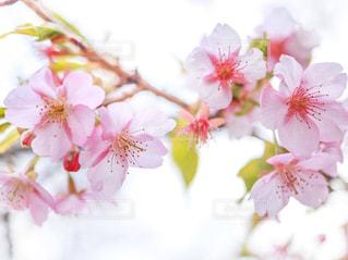 自然,春,桜,屋外,ピンク,お花見,さくらの里