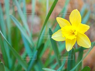 自然,花,植物,黄色,鮮やか,水仙,スイセン,イエロー,色,草木,yellow,綺麗な花,ラッパ水仙,ラッパスイセン