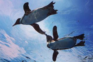 プールの水でカモメの群れの写真・画像素材[1315458]